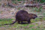 キャンプ場に出没する巨大ネズミ