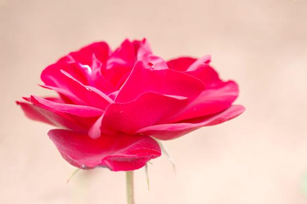 春のバラ祭り02