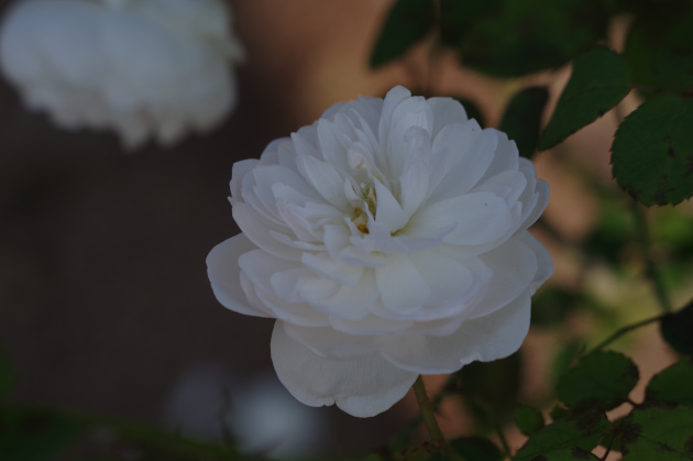 2019秋のバラ祭り01