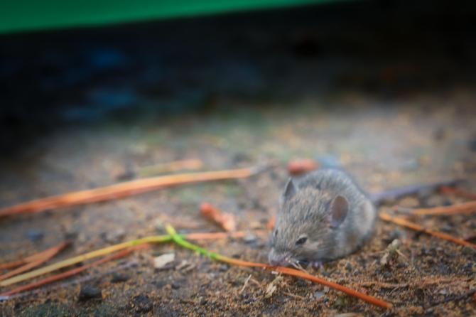 昼は寝るネズミ